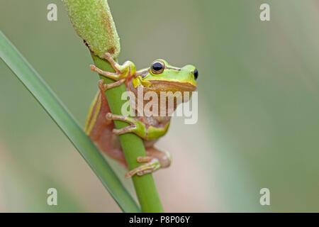 Hyla arborea; common tree frog - Stock Photo