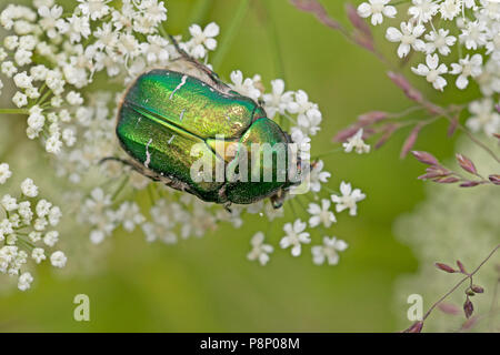 Rose chafer on white flowers - Stock Photo
