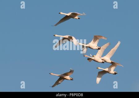 Seven flying Bewick's swans (Cygnus bewickii) wintering in Belgium - Stock Photo