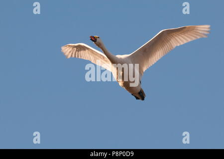 Flying Bewick's swan (Cygnus bewickii) wintering in Belgium - Stock Photo