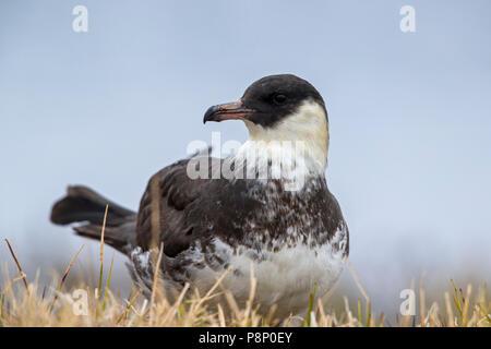 Resting Pomarine Jaeger (Stercorarius pomarinus) on tundra - Stock Photo