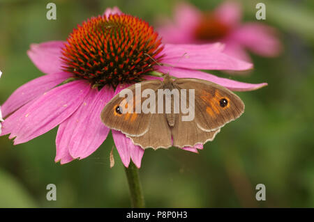 Meadow Brown (Maniola jurtina) on purple coneflower - Stock Photo