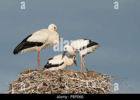 White Stork on nest with two juveniles. - Stock Photo