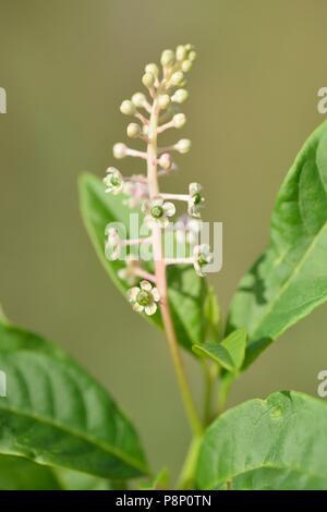 Flowering American pokeweed - Stock Photo