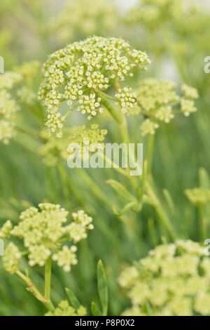 Flowering Rock Samphire on sea dike - Stock Photo