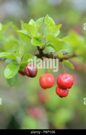 Due to the warm winter, birds have had no interest in feeding on the crabapples and they are still hanging in the tree when the new leaves are comming - Stock Photo