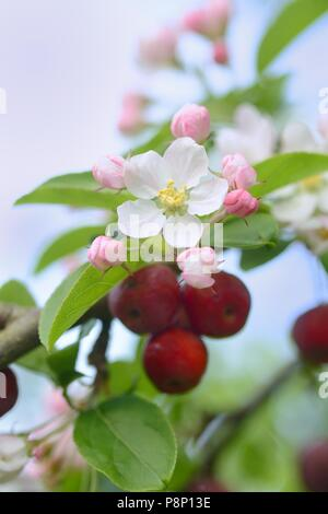 Due to the warm winter birds have had no interest in feeding on the crabapples and they are still hanging in the tree when the flowers are opening - Stock Photo
