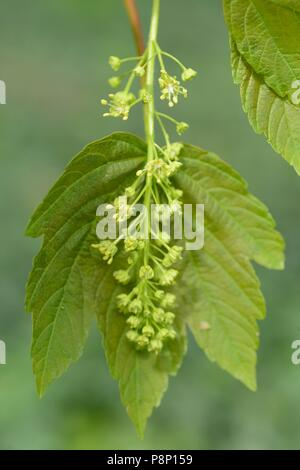Flowering Sycamore