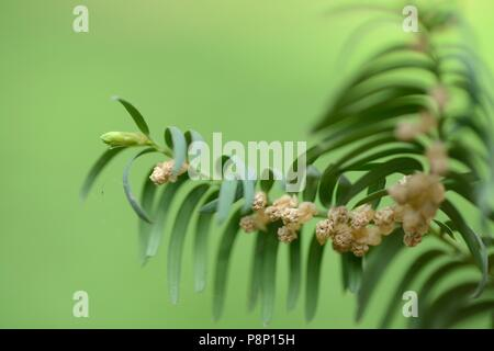 Detailed view on the male inflorescence of the Yew - Stock Photo