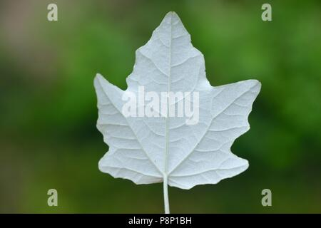 Leave of the White Poplar - Stock Photo
