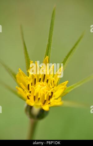 Detailed view on the flower of Goat's-beard - Stock Photo
