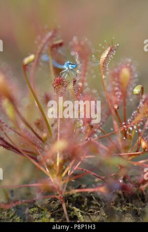 Oblong-leaved Sundew growing in new nature - Stock Photo