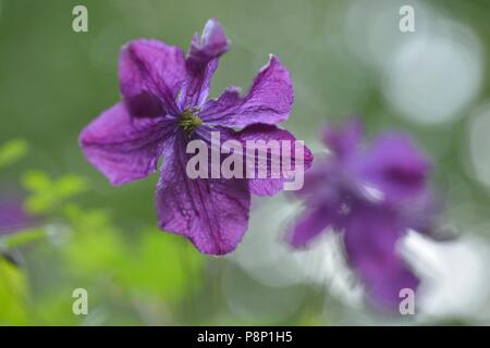 Flowering Purple clematis in hedge along the river Maas - Stock Photo