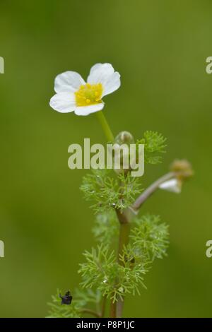 Flowering Fan-leaved Water-crowfoot - Stock Photo