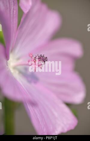 Detailed view on flowering Musk-mallow - Stock Photo