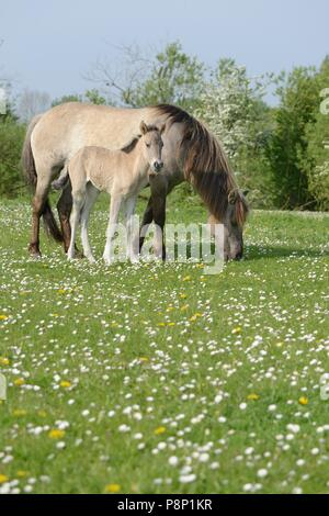Mother and child of Polish primitive horses feeding between spring flowers - Stock Photo