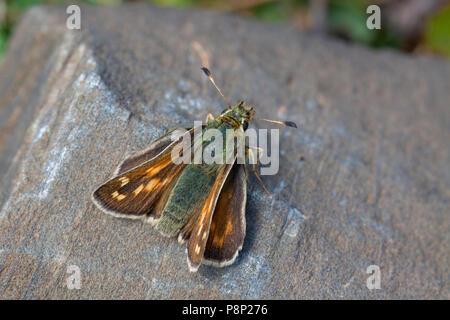 Silver-spotted Skipper; Hesperia comma - Stock Photo