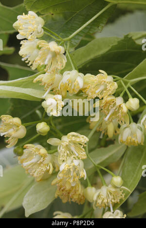 flowering large-leaved lime - Stock Photo