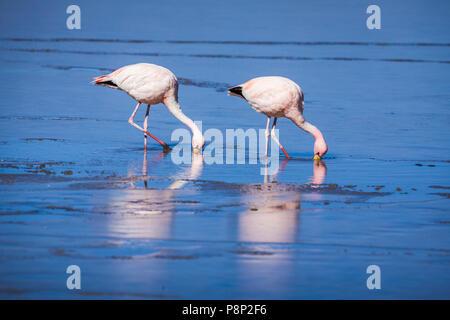 James's Flamingo's (Phoenicoparrus jamesi) foraging in half frozen saltlake - Stock Photo