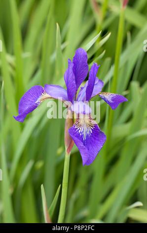 Siberian iris in the open garden 'de uiterwaard' bij Epse - Stock Photo