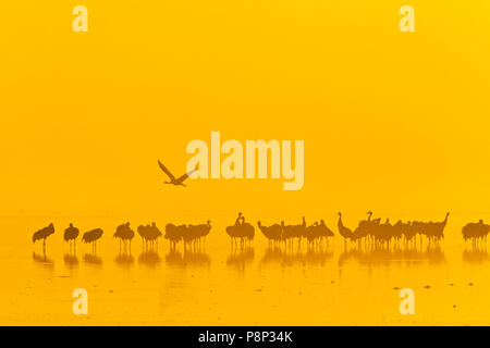 Common Cranes on roost site early morning at sunrise  in Hula Valley - Stock Photo