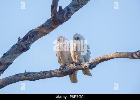Little Corella (Cacatua sanguinea) pair perched in tree - Stock Photo