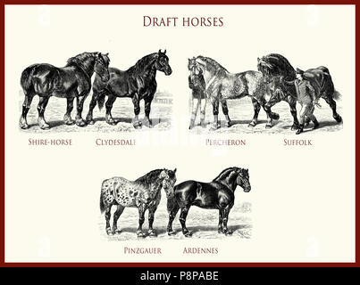 vintage equestrian illustration, powerful draft horse portraits:  Shire-horse, Clydesdale, Percheron, Suffolk, Pinzgauer, Ardennes - Stock Photo