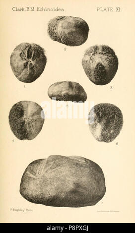 A catalogue of the recent sea-urchins (Echinoidea) in the collection of the British Museum (Natural History) - Stock Photo