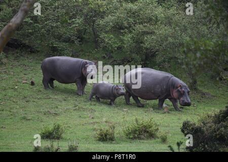 The Common Hippopotamus (Hippopotamus amphibius). A family of hippos grazing at dusk in the Maasai Mara, Kenya, East Africa - Stock Photo