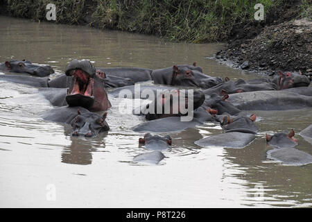 The Common Hippopotamus (Hippopotamus amphibius). Olare Motorogi Conservancy, Maasai Mara, Kenya, East Africa - Stock Photo