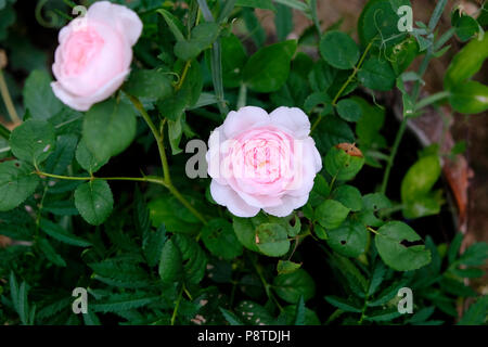 Fragrant Rosa Queen of Sweden soft pink rose propagated from a cutting growing during the heatwave of 2018 in Wales UK  KATHY DEWITT - Stock Photo