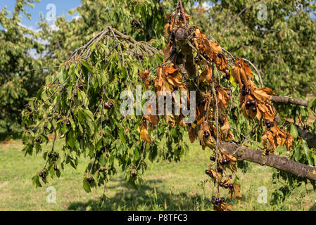 Dried cherries due to hot weather, no rains in western Germany, broken branches. - Stock Photo