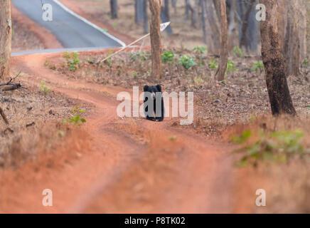 Indian Black Bear or Ursus thibetanus roaming in early morning at Tadoba national Park Maharastra India - Stock Photo