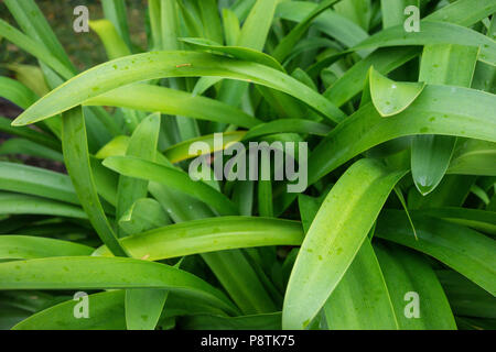 agapanthus praecox called love flower from south africa with small raindrops Stock Photo