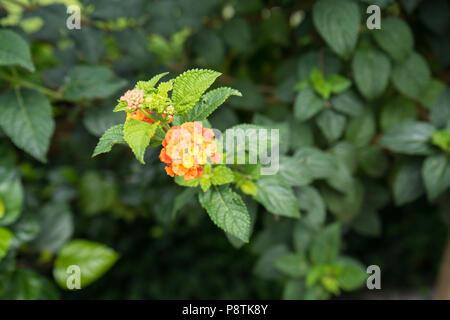 camara verbenaceae flower blooming close up lantana rose - Stock Photo