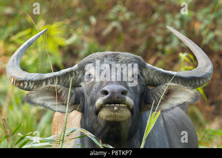 Water buffalo or Bubalus bubalis or domestic Asian water buffalo at Kaziranga national park Assam India - Stock Photo