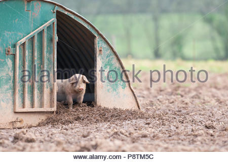Piglet Standing in a Shelter in a Field in Devon - Stock Photo