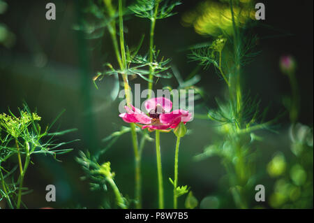 Ranunculus asiaticus success red on a beautiful green background. Copy space. - Stock Photo