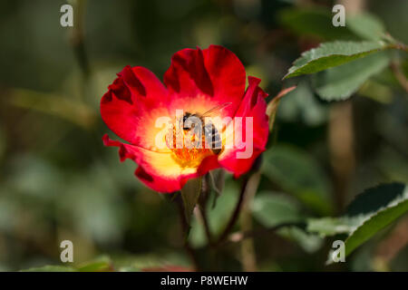 honey bee collects flower nectar from a red flower - Stock Photo
