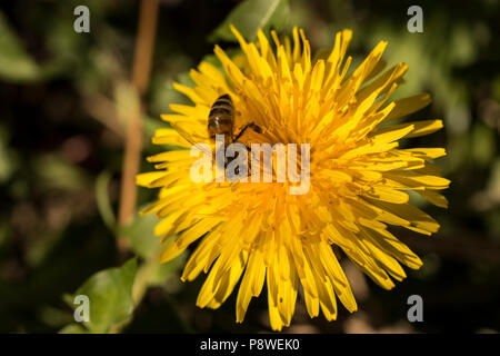 Close up of a honey bee collecting pollen from beautiful yellow dandelions - Stock Photo