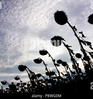 Silhouettes of dried up sunflower field in backlighting, Auvergne, France, Europe - Stock Photo