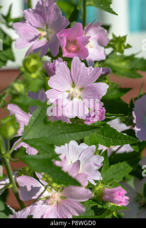 Malva sylvestris in the garden near the farmhouse - Stock Photo