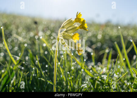 Cowslips in wet grass - Stock Photo