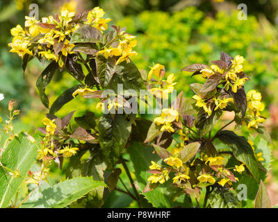 Bronze foliage and yellow leaves of the hardy, summer flowering perennial, Lysimachia ciliata 'Firecracker' - Stock Photo