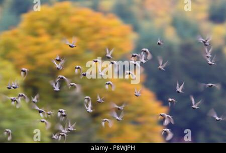 European Starling (Sturnus vulgaris), flying flock in autumn colored forest, Odenwald, Hesse, Germany | usage worldwide - Stock Photo