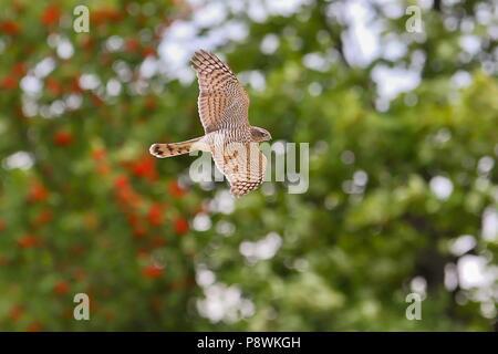 Eurasian Sparrowhawk (Accipiter nisus) juvenile flying, Hesse, Germany | usage worldwide - Stock Photo