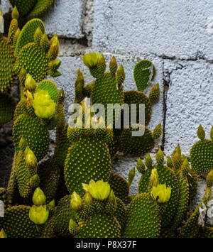 wild green cactuses in andalusia, plants typical for dry tropical climate, nature - Stock Photo