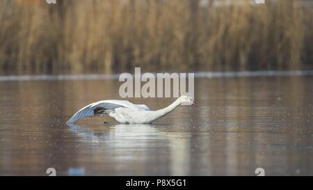 Mute Swan (Cygnus olor) on frozen lake stuck in waterhole, Baden-Wuerttemberg, Germany | usage worldwide - Stock Photo