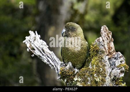 Kea (Nestor notabilis) sitting on mossy tree trunk, Arthur's Pass National Park, New Zealand | usage worldwide - Stock Photo
