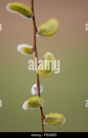 Willow Catkin (Salix spec.), branch with male catkins, Brandenburg, Germany | usage worldwide - Stock Photo